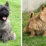 Can You Tell the Difference Between These Nearly Identical Dog Breeds?