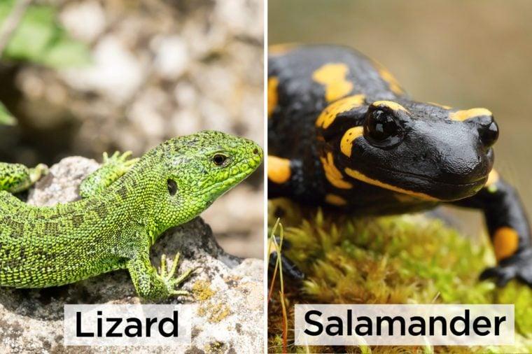 Lizard-vs-Salamander