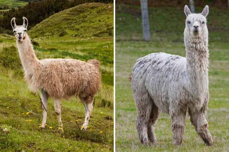 can you tell the difference between these nearly identical animals
