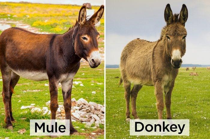 Mule-vs-Donkey