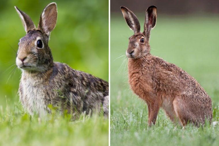 Rabbit-vs-Hare