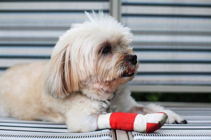 Injured Shih Tzu leg wrapped by red bandage