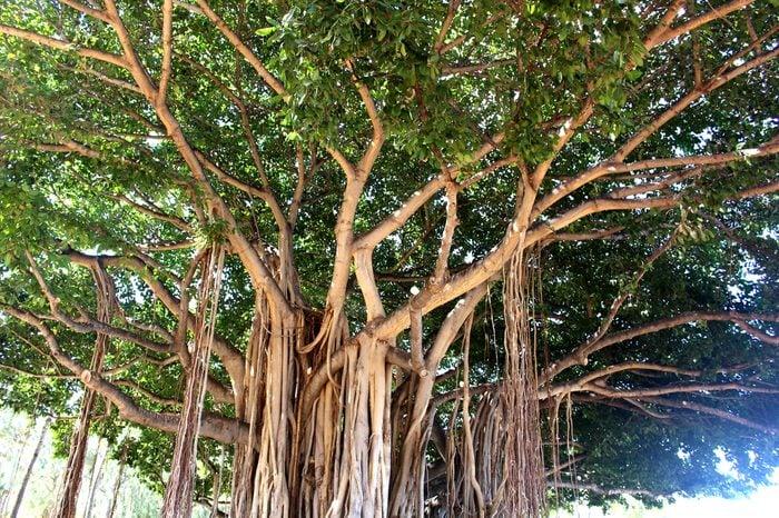 Banyan tree in Waikiki beach Hawaii