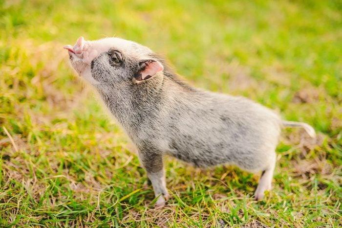 mini pigs_weird experiments