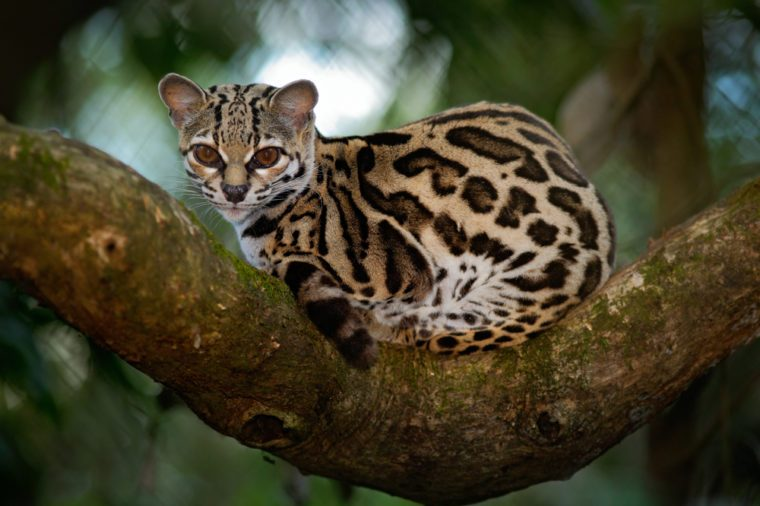 Margay, Leopardis wiedii, beautiful cat  sitiing on the branch in the costarican tropical forest