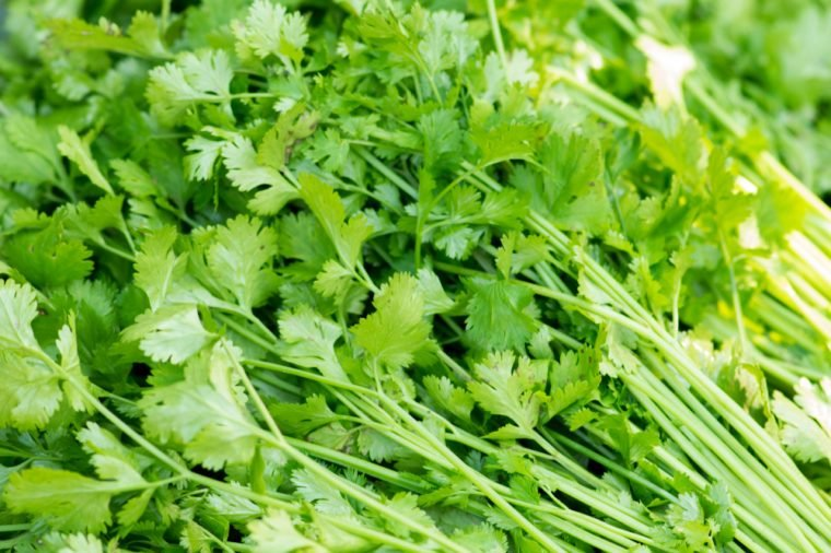 closeup fresh cilantro coriander. Chinese parsley.