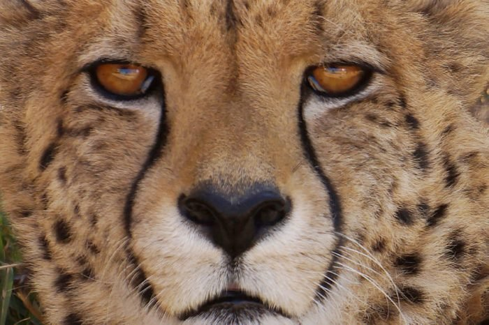 eye contact with cheetah
