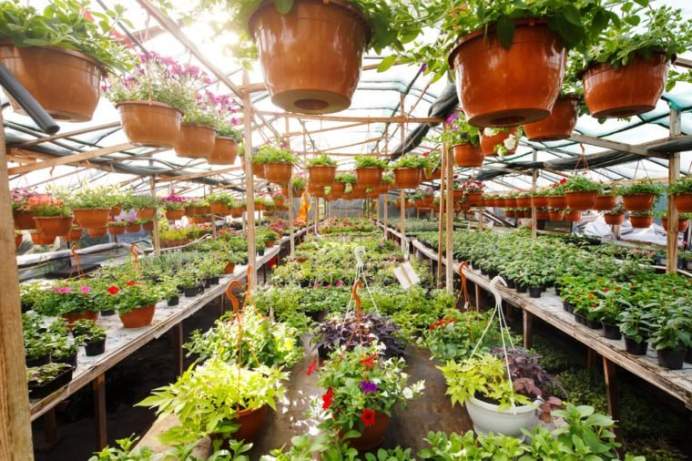 Flowers inside a garden center greenhouse, wide angle photo.