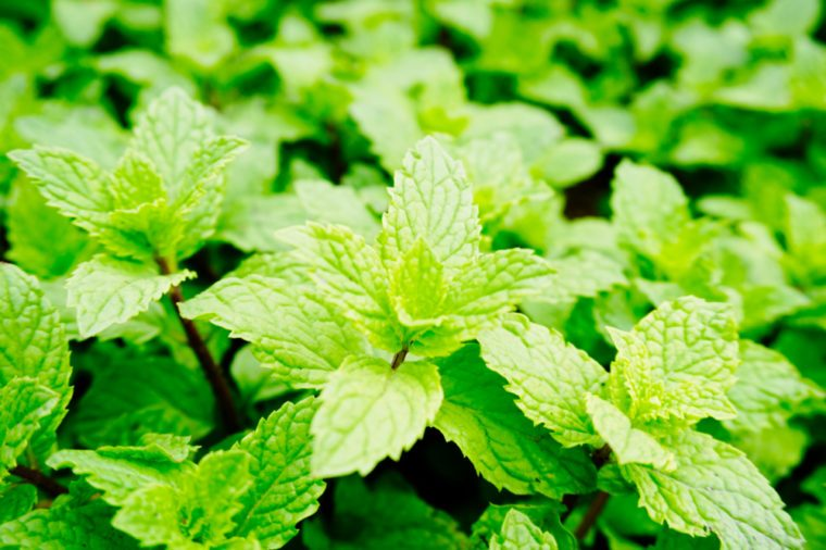 Mint leaves, mint leaves green and grow up. close up, background.