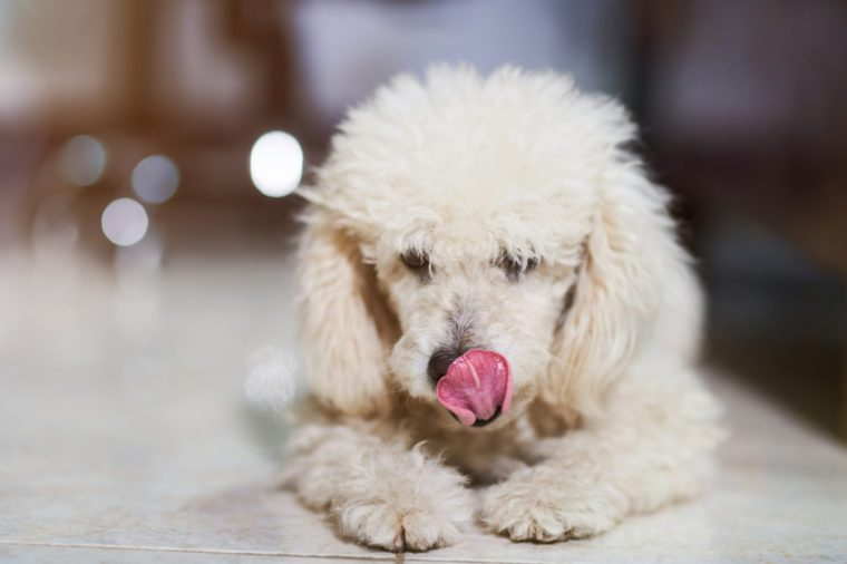 Poodle dog licking his nose on blurred background