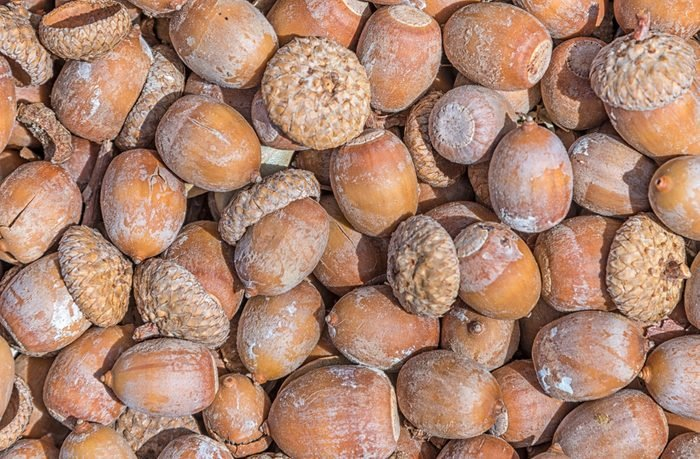 fallen acorns on the ground as a background