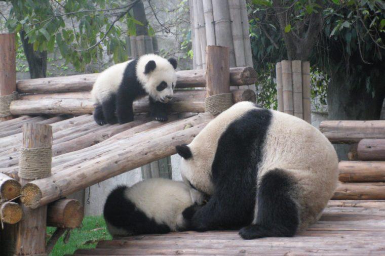 Panda family of 3