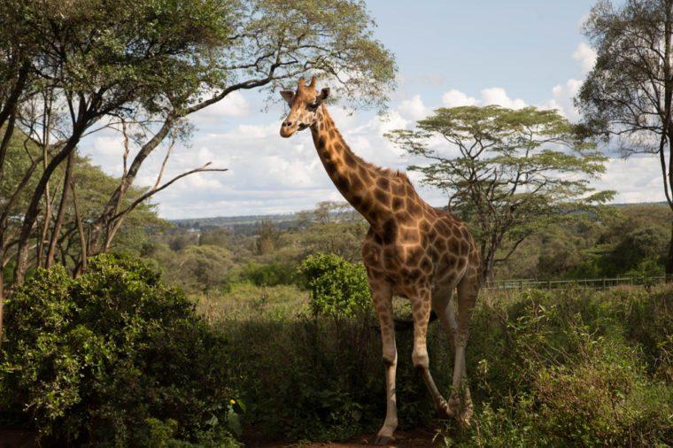 A wild giraffe walk though the brushwood grasslands in Giraffe centre in Nairobi Kenya