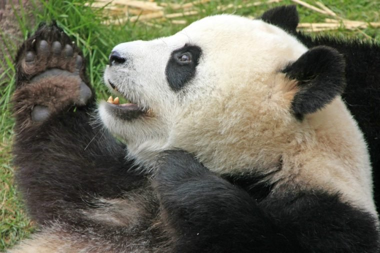 Panda Facts That Will ...