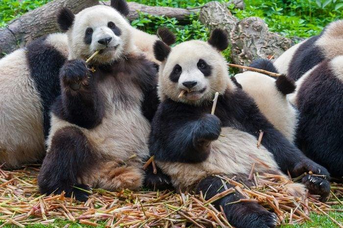Panda bears eating together