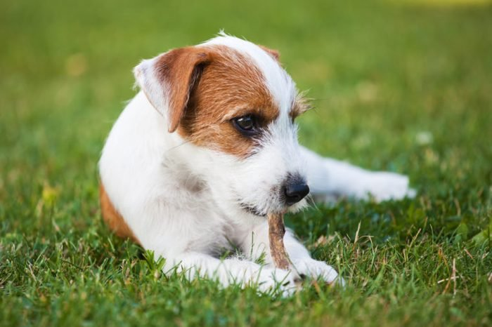 cute Parson Russell Terrier puppy lies on the grass and chews at dried rumen