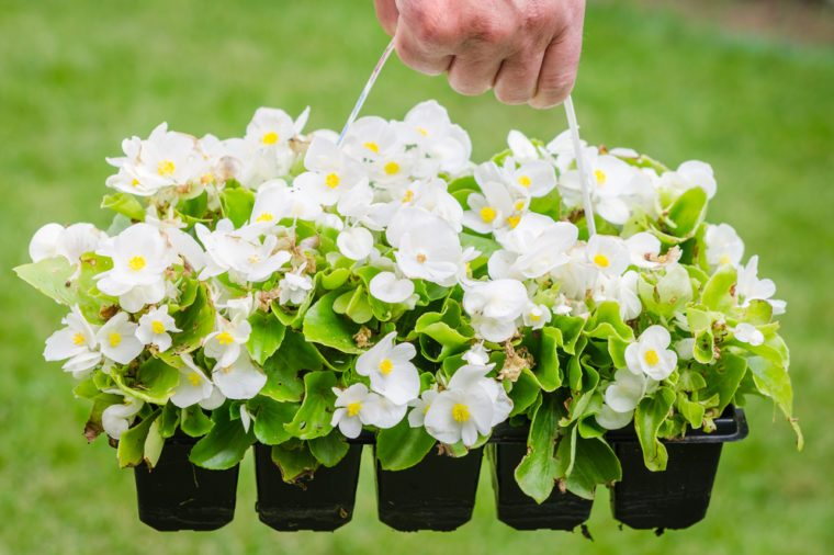 Hand holds container of the white blossom begonia in the garden