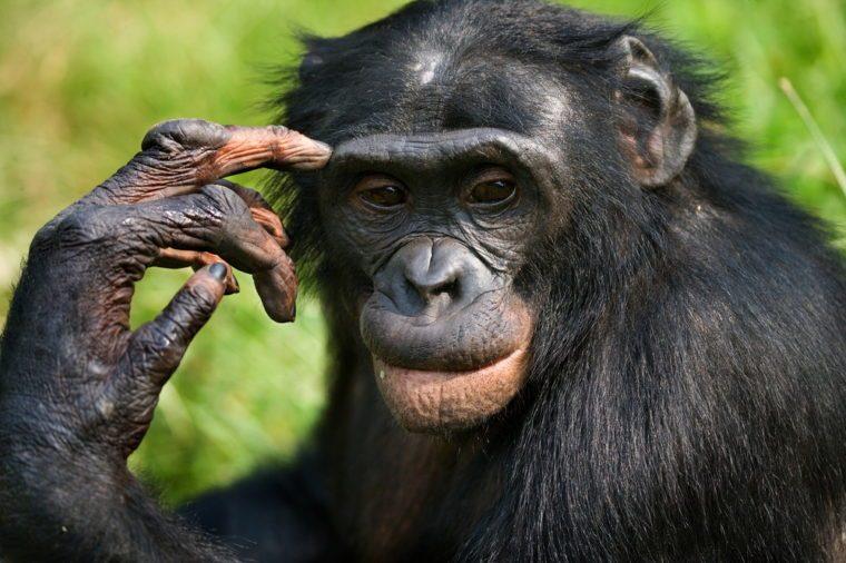 Portrait of a Bonobo. Democratic Republic of the Congo.