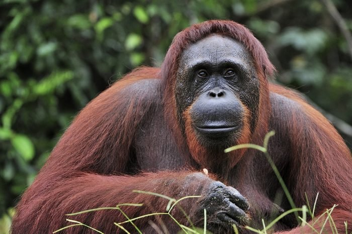Orangutan Portrait. Portrait of the adult male of the adult orangutan in the wild nature. Island Borneo. Indonesia.