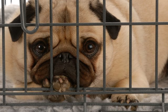 pug in a wire dog crate looking out a viewer