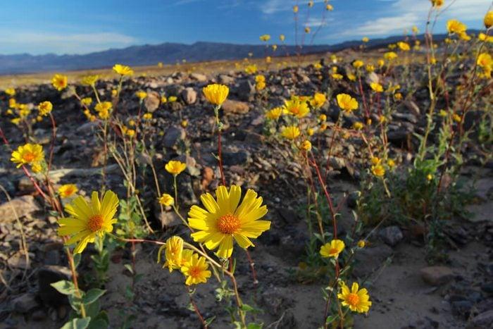 Super bloom of wildflowers, desert sunflower, Death Valley National Park, California, Spring 2016