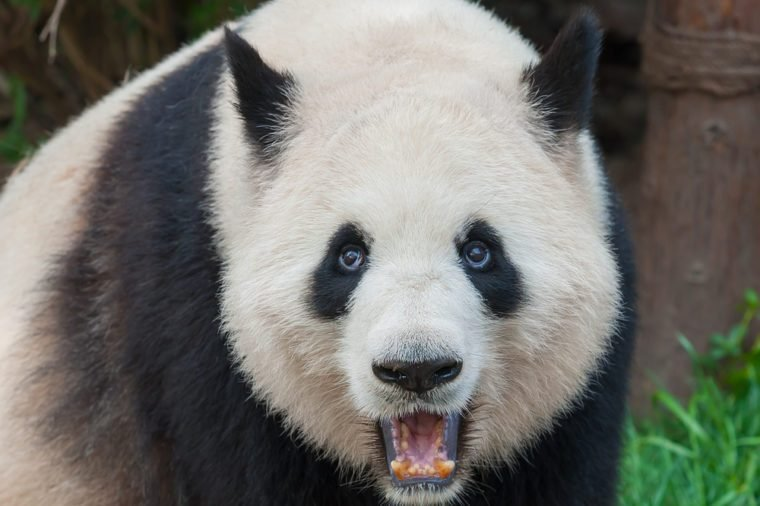Adult panda food