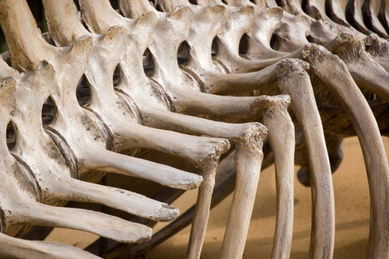 bone dinosaur artifact