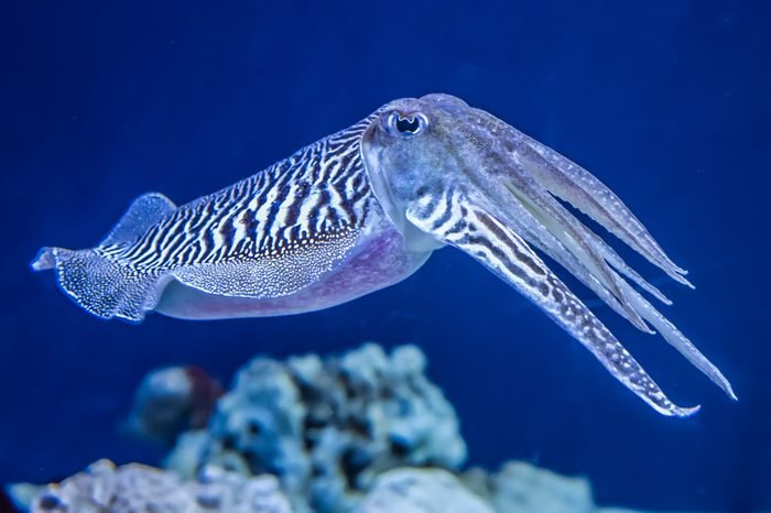 The Common (European) Cuttlefish (Sepia officinalis) is generally found in the eastern North Atlantic and Mediterranean Sea. It is a cephalopod, related to squid and octopus.