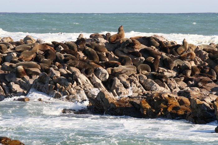 colony of Cape fur seal, Arctocephalus pusillus pusillus at Geyser Rock, on the Shark Alley, Gansbaai, South Africa, Atlantic Ocean