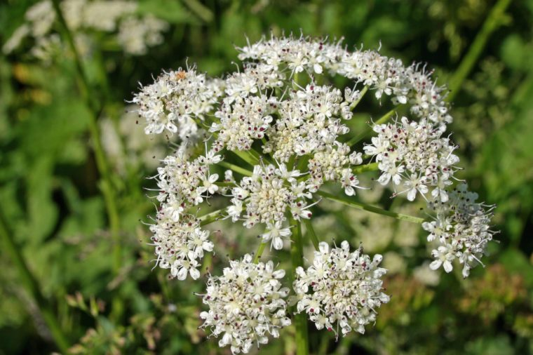 Close view of an umbel of common hogweed (Heracleum sphondylium) flowers. Background of blurred vegetation.