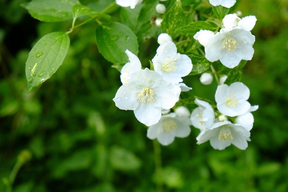 Baikutsugi.White flowers blooming in spring.