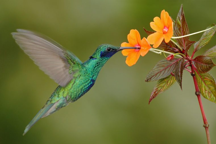 Green and blue hummingbird Sparkling Violetear flying next to beautiful yelow flower. Bird from Ecuador, tropical mountain forest. Wildlife scene from nature. Birdwatching in South America.