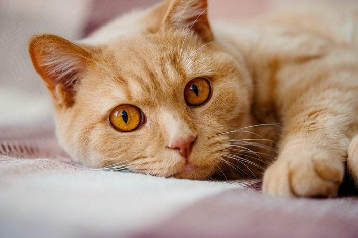 British Shorthair Cat lying down