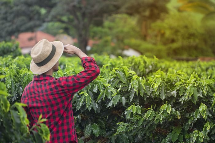 Farmer with hat standing in a coffee plantation field and looks into the distance. Concept image