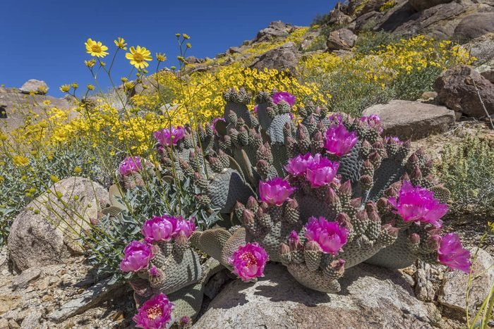 Beavertail Cactus and other wildflowers blooming in the spring of 2017 in Joshua Tree National Park - California