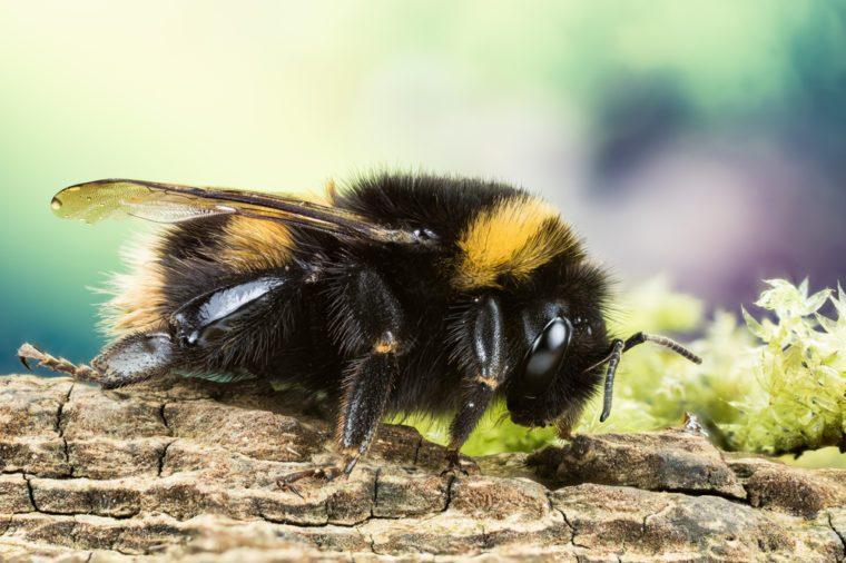 Focus Stacking - Buff-tailed Bumblebee, Bumblebee, Dumbledor, Dumbledore