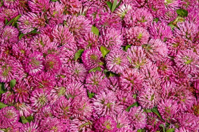 Solid background from flowers of red clover. Filmed in the Studio. Inflorescence Trifolium rubens already prepared for drying.