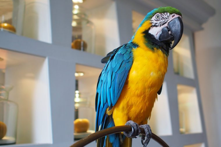 A parrot as a pet showing at a hotel lobby