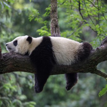 13 Facts About Pandas That Will Make You Love Them Even More