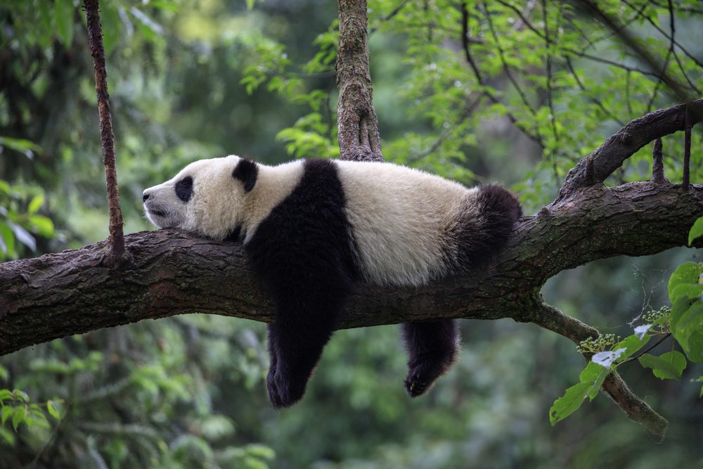 13 Panda Facts That Will Make You Love Them Even More