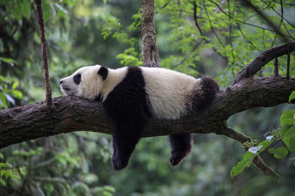 How Long Can A Panda Live
