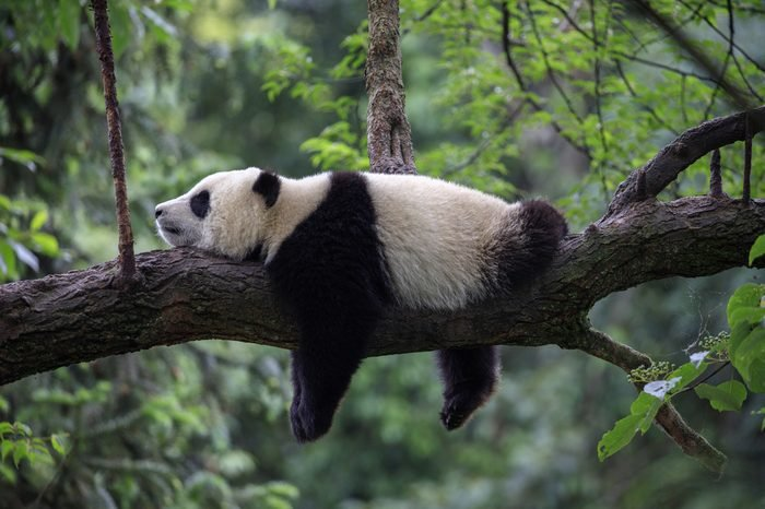Panda Bear Sleeping on a Tree Branch, China Wildlife. Bifengxia nature reserve, Sichuan Province.