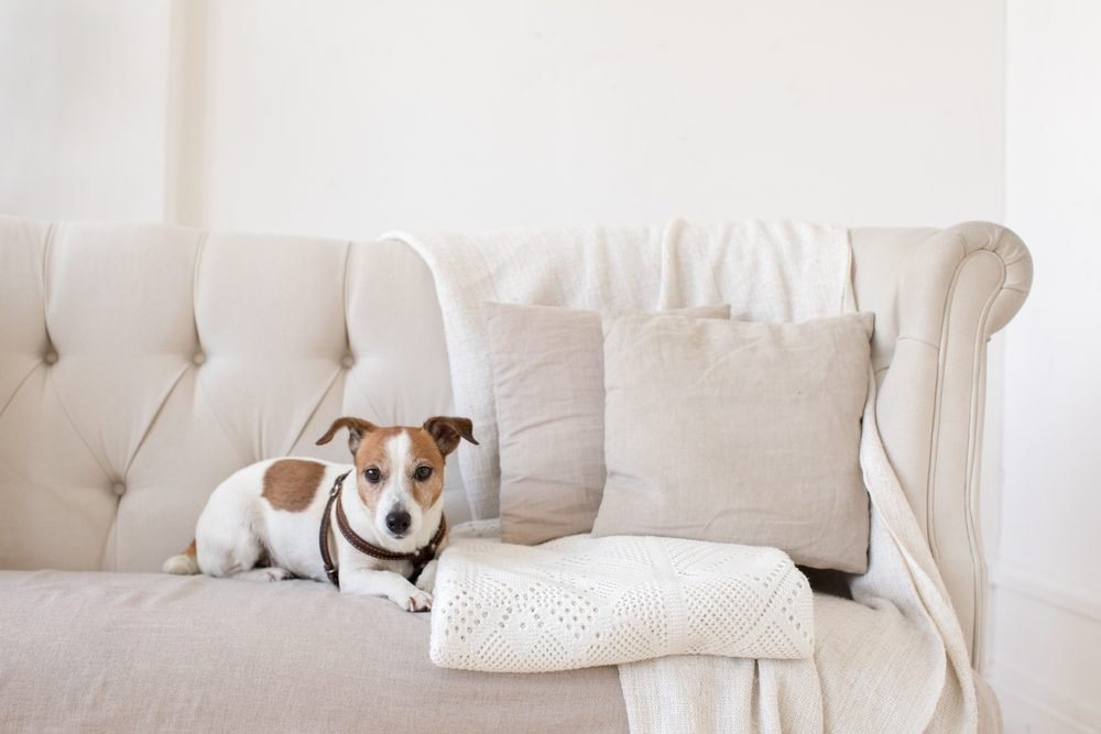 Dog jack russell terrier sits on the couch and looks at the camera horizontal indoors