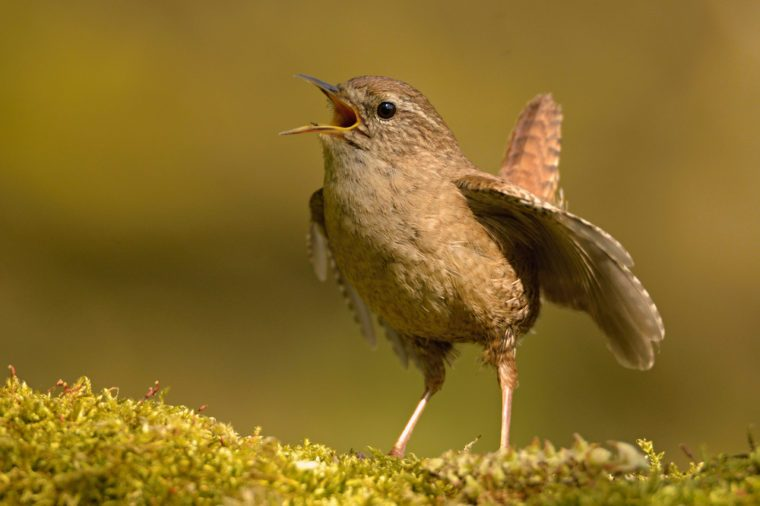 The Eurasian wren (Troglodytes troglodytes) is a very small bird, and the only member of the wren family Troglodytidae found in Eurasia and Africa. Singing