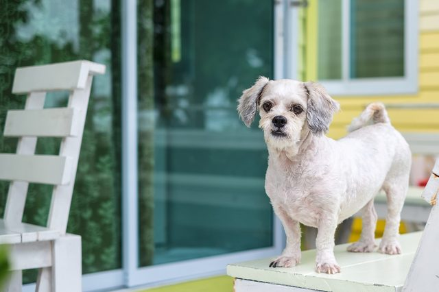 White short hair Shih tzu dog standing on the terrace and looking forward