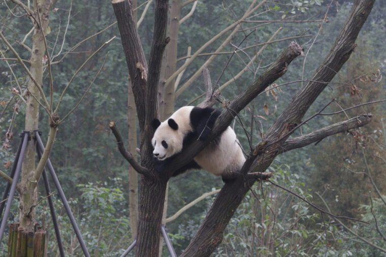 Giant Panda on the Tree