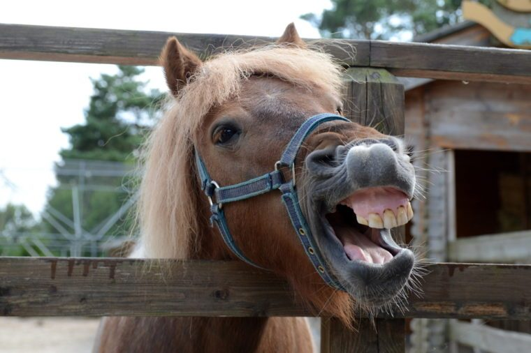 Laughing brown horse