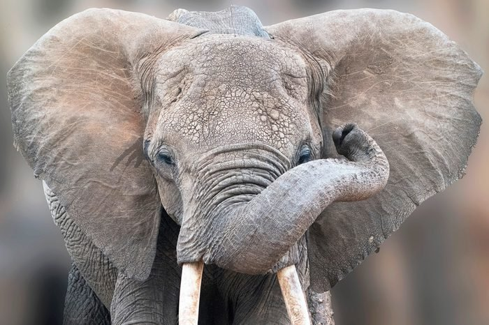 Detailed portrait of a young elephant