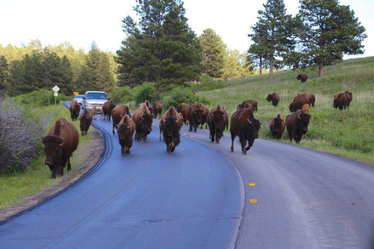 Bison herd stampede on road