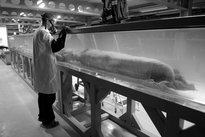 The 30ft Giant Squid is to go on display at the museum's Darwin Centre. Picture with Mollusca Curator, Jonathan Ablett